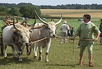 Ochsengespann in Möckenlohe. Foto: Gerd Welker.